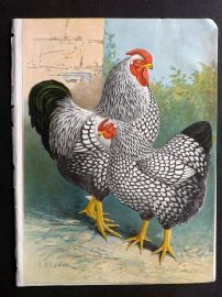 A. F. Lydon C1905 Bird Poultry Print 04